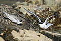 Juvenile white-fronted tern begging parent for food.jpg