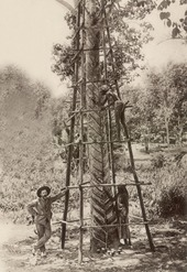 Rubber tapping - Wikipedia