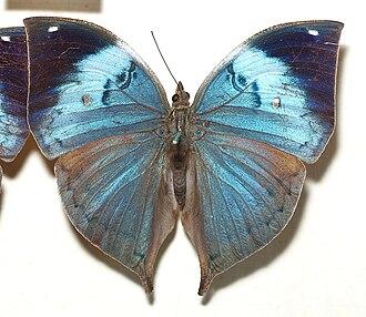 Kallima - Image: Kallima.philarchus