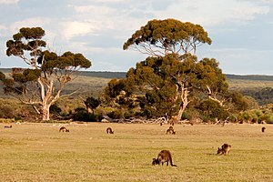 Kangaroo Island - Open woodland with kangaroos