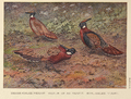 Kashmir, Western and Nepal Koklass pheasant by George Edward Lodge.png