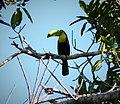 Keel-billed Toucan. Ramphastos sulfuratus - Flickr - gailhampshire (1).jpg