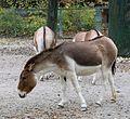 Kiang Equus kiang Tierpark Hellabrunn-3.jpg
