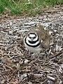 Killdeer Nesting.JPG