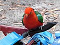 King Parrot On Skillet.jpg