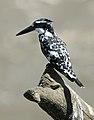 Kingfisher7.jpg