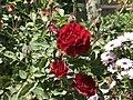 Kirkuk Flower 4.jpg