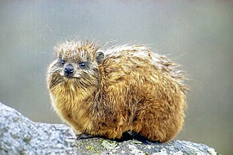 Hyrax - Young hyrax on Mount Kenya