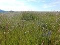 Knautia arvensis - 35454605580.jpg