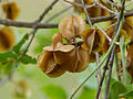 Knobbly Bushwillow (Combretum mossambicense) dry fruits (11619995576).jpg