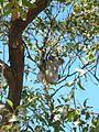 Koala, Fort walk, Magnetic Island .jpg