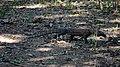 Komodo Dragon juvenile, Komodo, 2016 (04).jpg