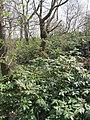 Korina 2013-03-18 Mahonia aquifolium 8.jpg