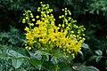 Korina 2017-04-08 Mahonia aquifolium 2.jpg