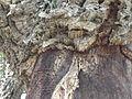 Korkeiche (Quercus suber) im Naturpark Los Alcornocales 8 - Detaillansicht.JPG