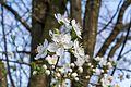 Krieche Prunus domestica subsp insititia inflorescence 5.jpg