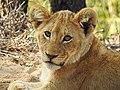Krueger lion cub.jpg