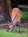 Kuh Sikahirsch äsend Wildpark Klein-Auheim Juni 2012.JPG
