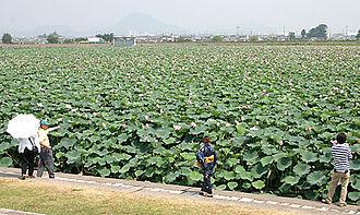 Kusatsu, Shiga - Huge lotus pond bloom in summer at Karasuma Peninsula in Kusatsu.