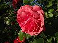Kwiat róży (1).jpg