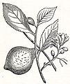 LA2-NSRW Citron.jpg