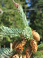 La Brevette (petit épicea) cones.jpg