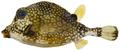 Lactophrys triqueter - pone.0010676.g196.png