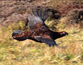 Lagopus lagopus scotica (red grouse).jpg