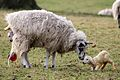 Lambing in England -10March2012 (4).jpg