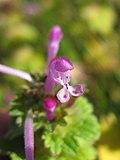 Lamium amplexicaule flower2 (14648621097).jpg