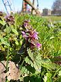 Lamium purpureum flowers.jpg