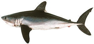 Porbeagle - A Southern Hemisphere porbeagle showing the white patch on the rear tip of the first dorsal fin, which is unique to the species.