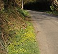 Lane with lesser celandine on the verge - geograph.org.uk - 1250033.jpg