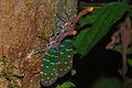 Lantern Bugs (Laternaria intricata) (8086427789).jpg