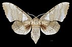 Laothoe austauti MHNT CUT 2010 0 202 Khenchela Algeria female dorsal.jpg