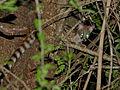 Large-spotted Genet (Genetta tigrina) (14003997023).jpg