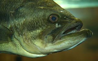 Largemouth bass species of fish
