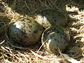 Larus argentatus nest with eggs.jpg
