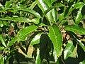 Lasdon Arboretum - Quercus acutissima - IMG 1516.jpg