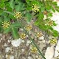 Laserpitium krapfii subsp gaudinii 2 RF.jpg