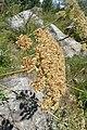 Laserpitium latifolium kz04.jpg