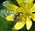 Lasioglossum sp. - Flickr - gailhampshire (2).jpg