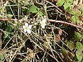 Late flowering bramble - geograph.org.uk - 1013610.jpg