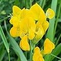Lathyrus pratensis-Gesse des prés-Fleurs-20210506.jpg