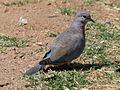 Laughing Dove RWD.jpg