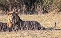 León (Panthera leo), parque nacional de Chobe, Botsuana, 2018-07-28, DD 94.jpg