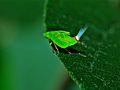 Leafhopper Nymph (Cicadellidae) (6934158008).jpg