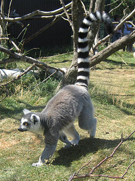 Lemur walking-2.jpg