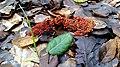 Leocarpus fragilis 110254974.jpg