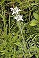 Leontopodium alpinum L.jpg